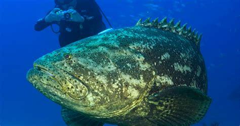 goliath grouper atlantic ban harvest lift virginia cantley krafft