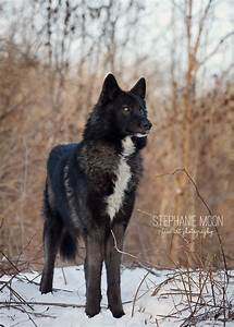 Print of a Black Wolf Wolf Photography Wolf Picture