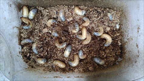 カブトムシ 幼虫 土 から 出る