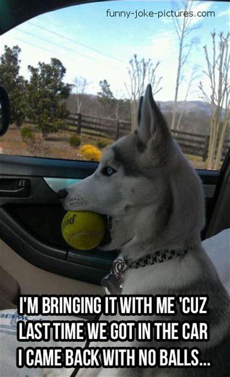 Dog In Car Meme - dog ball meme funny joke pictures