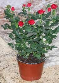 Cómo Cultivar Rosas Trepadoras En Macetas  Conoce Más De