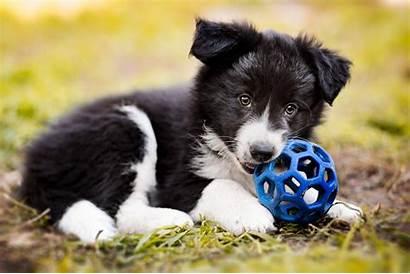 Collie Border Puppy Dog Wallpapers Animals Collies