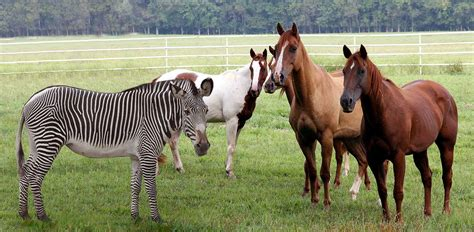 zebra horse horses pferde ehlers danlos zebras vs pferden kennst dich aus syndrome mentale imagen cebras hear caballos