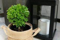 Oleander Draussen überwintern : oleander als zimmerpflanze halten so f hlt sie sich wohl ~ Eleganceandgraceweddings.com Haus und Dekorationen