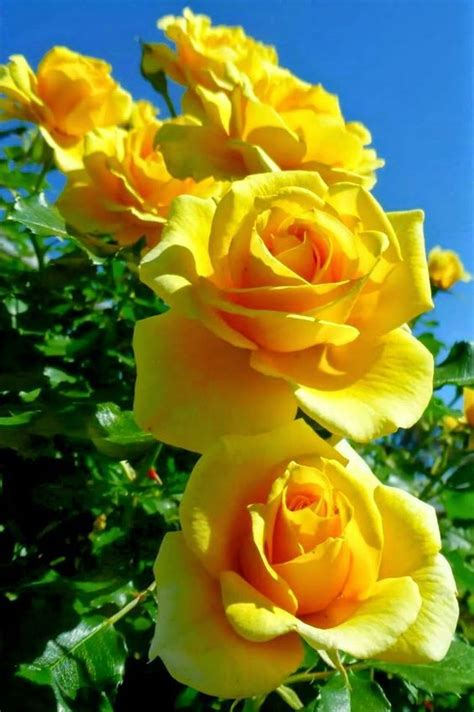 Best 25 Yellow Roses Ideas On Pinterest Rose Meaning