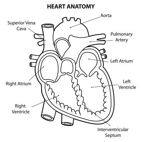 parts     human heart diagrams