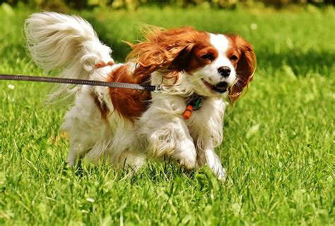 do spaniels shed cavalier king charles spaniel