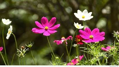 Flowers Spring Wallpapers Flower Awesome Cosmos Background