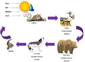 Arctic Tundra Food Chain