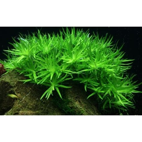 plante arriere plan aquarium plante d arri 232 re plan pour aquarium heteranthera zosterifolia