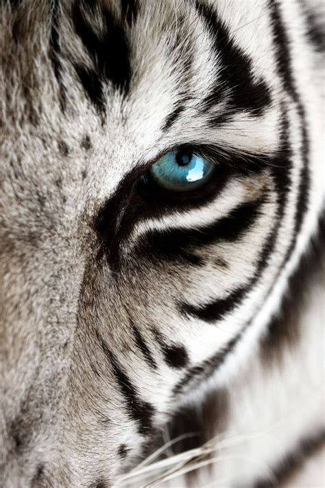 Best Images About White Tigers For Noah Pinterest
