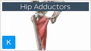 Anatomy Of The Hip Adductor Muscles