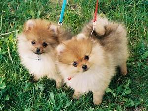 Cute Pomeranian Pair Wallpaper 800 600 Puppies - Litle Pups