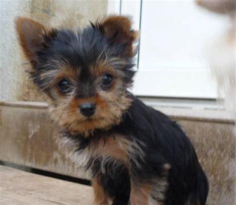pin reinrassige minni malteser welpen hunde inserate