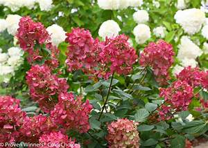 Hortensie Wims Red : fire light panicle hydrangea hydrangea paniculata ~ Michelbontemps.com Haus und Dekorationen