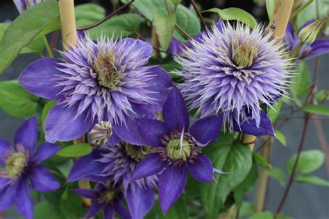 Clematis 'multi Blue'  Clematis  Climbing Plants