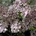 Wann Blüht Flieder : flieder syringa vulgaris schneiden pflege pflanzen bilder ~ Lizthompson.info Haus und Dekorationen