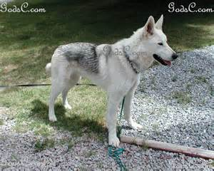 Siberian Husky German Shepherd Mix