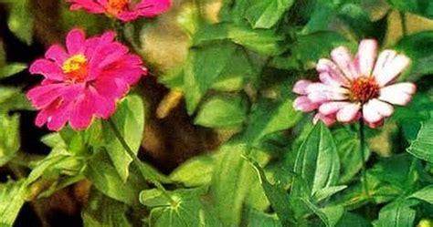 manfaat tanaman kembang kertas khasiat tumbuhan