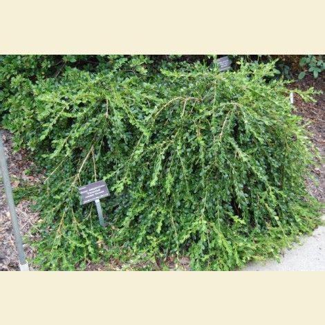 Buxus sempervirens 'Unraveled' Unraveled Boxwood Buxus