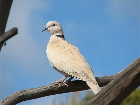 a new bird for our garden list collared turtle dove