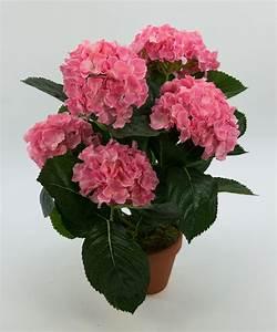 Hortensie Im Topf : hortensienbusch deluxe 42cm rosa pink im topf lm k nstliche blumen hortensie ebay ~ A.2002-acura-tl-radio.info Haus und Dekorationen