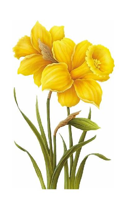 Daffodil Drawing Flower Watercolor Flowers Clipartmag