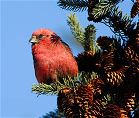 alaskas backyard birds crossbills alaska department