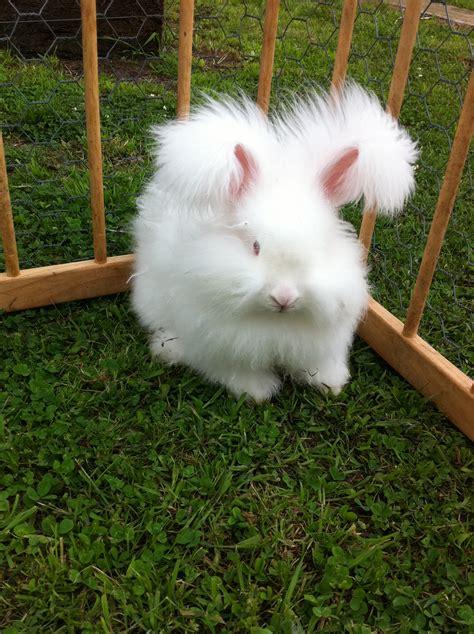 angora rabbit angora rabbits willowdale