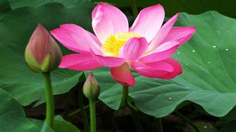 Beautiful Lotus Flowers Wallpapers 07 : Wallpapers13.com