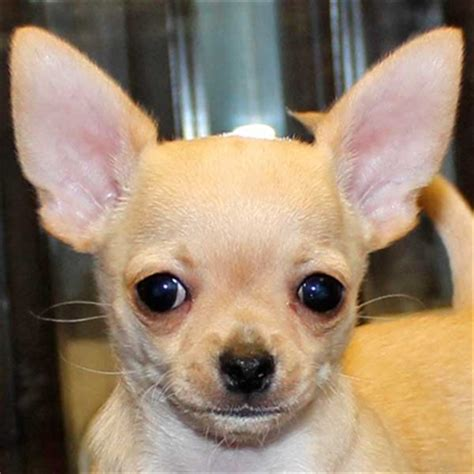 chihuahua puppy  sale  boca raton south florida