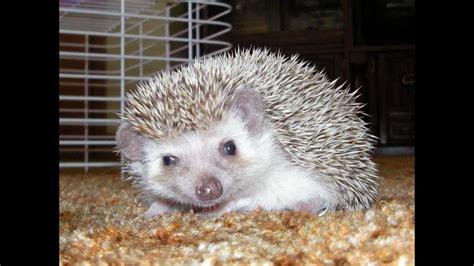 Cute And Funny Hedgehog Slideshow Youtube