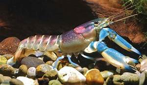 These Blue And Purple Crayfish From Indonesia Are Just ...