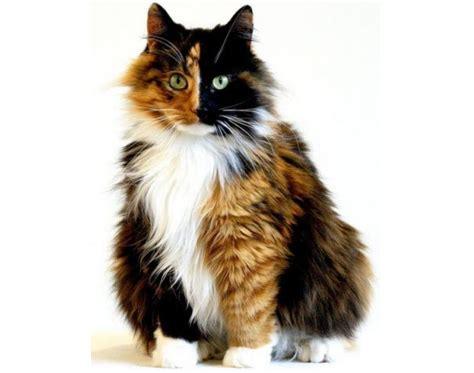 cat names for calicos calico cat names catsbook