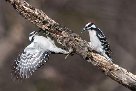 Identify Backyard Birds by Backyard Birds How To Identify Two Common Woodpeckers