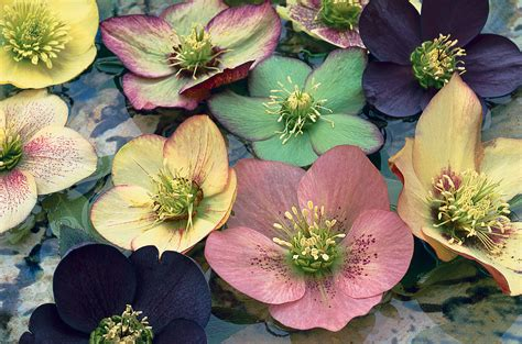how to plant hellebores breeding hellebores in pictures gardenersworld com