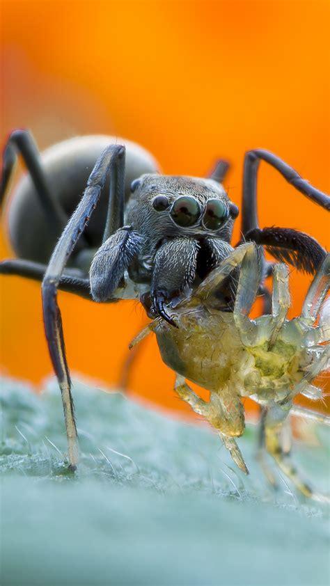 wallpaper spider macro orange animals