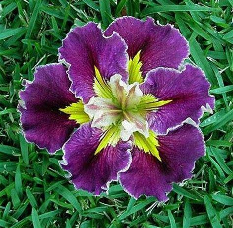 plantfiles pictures louisiana iris rich and iris