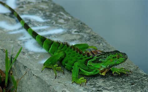 american green iguana large lizard animals wallpaper hd