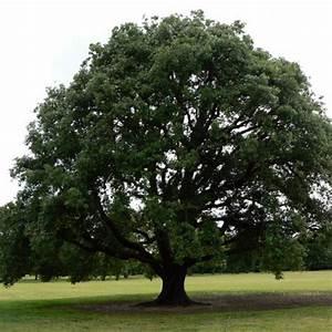 Evergreen Oak Tree Clarenbridge Garden Centre