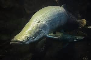 Arapaima Fish South America