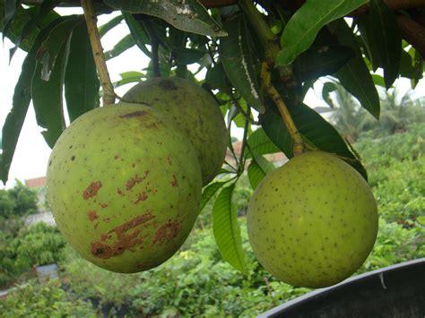 tanaman mangga kweni serat jual bibit tanaman buah