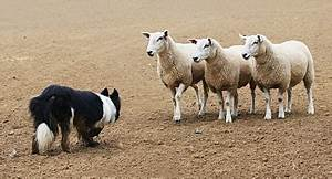 Herding Dog Trials : The Straight Poop