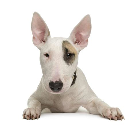 Bull Terrier Images Bull Terrier Breed 187 Information Pictures More