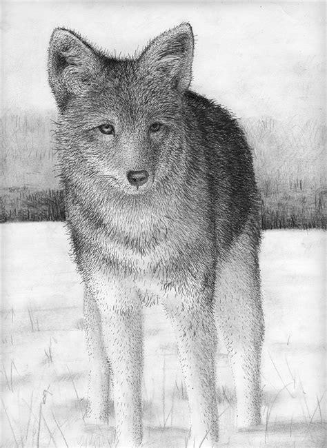 Coyote Drawing Wwwimgkidcom The Image Kid Has It