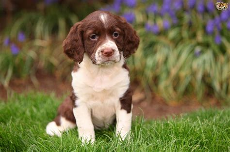 Is a springer spaniel the right choice of dog for you
