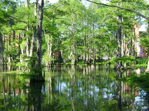 Images Of Louisiana Cypress Lake Lafayette Louisiana