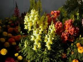 Spotlight On Snapdragon Home Décor: When To Plant Snapdragon Seeds Outside