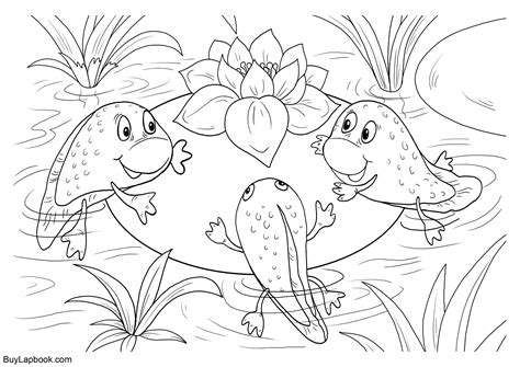 life cycle   frog  coloring pages buylapbook