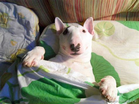 11 Things That You Have To Endure Of Your Bull Terrier For